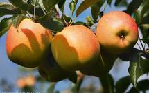 Pielęgnacja drzew owocowych. Jak zabezpieczyć drzewa przed szkodnikami i chorobami?