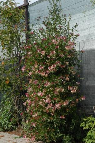 Pnącza ozdobą każdego ogrodu